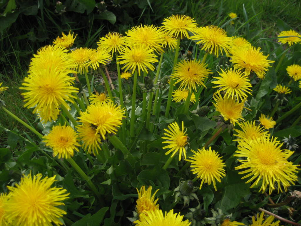 DANDELION Tincture for Weight Loss – Benefits and Administration