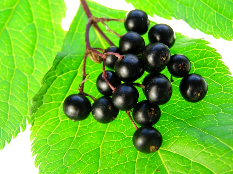 Elderberry Natural Hair Dye Used By The Romans