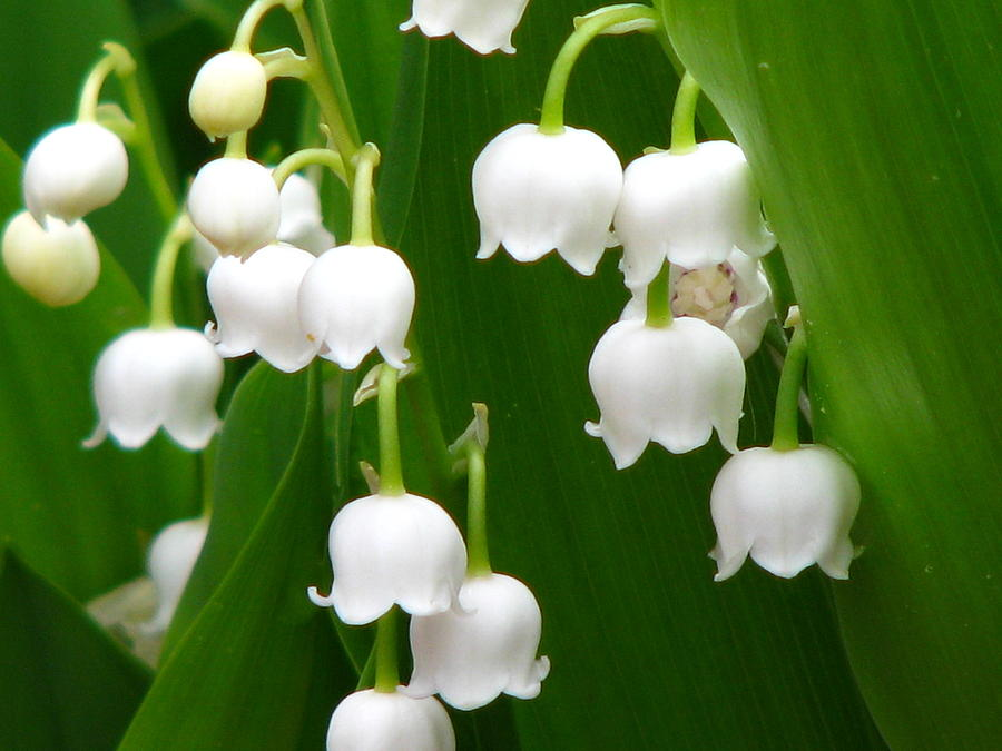 lily of the valley a most efficient tonic of the heart. Black Bedroom Furniture Sets. Home Design Ideas