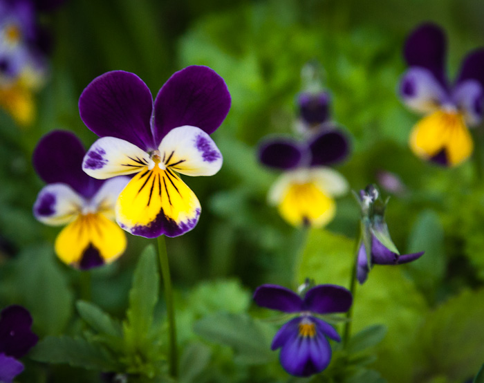 Wild pansy a remedy for respiratory inflammatory and