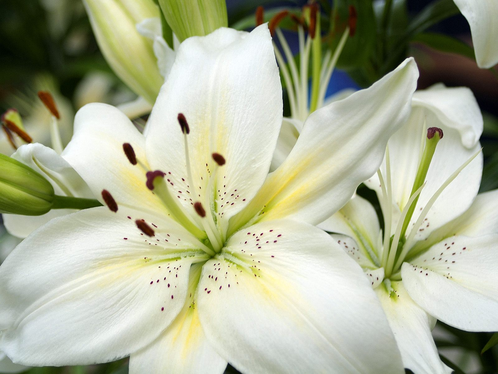 White lily oil recipe and therapeutic uses izmirmasajfo Choice Image