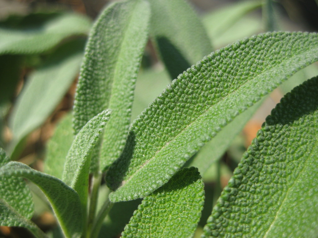 Get Rid of Excessive Sweating with Sage, Walnut and Thyme