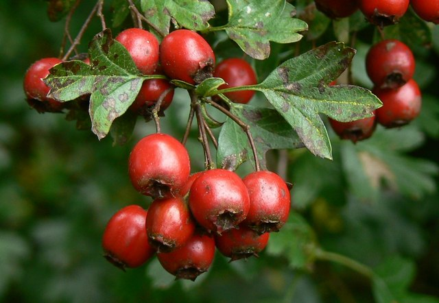hawthorn for your heart