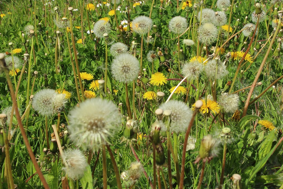 herbal treatment for hay fever