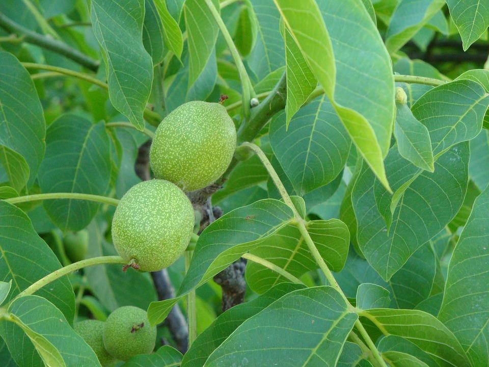 walnut leaves tea