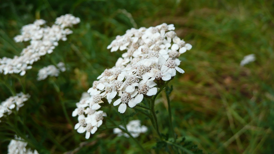 women with gynecological problems should drink yarrow tea