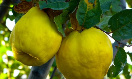 quince-juice