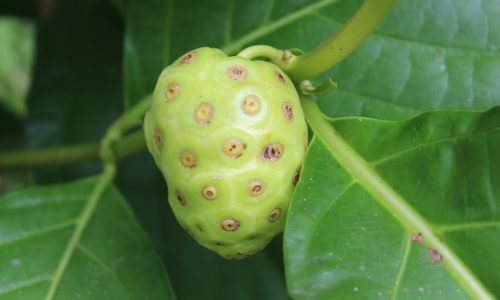 noni-fruit-benefits